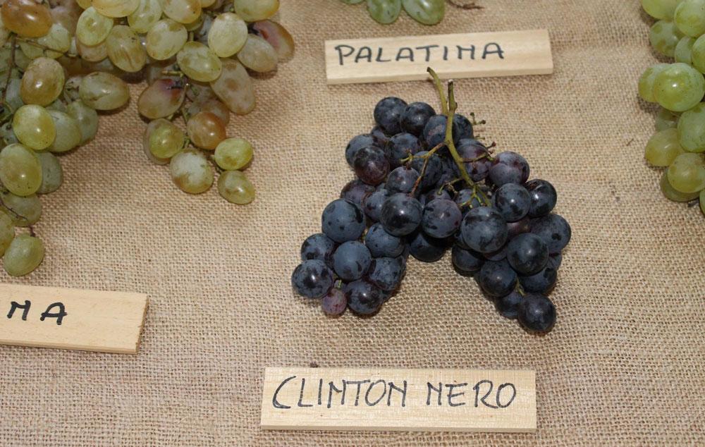 Grappoli per il vin grinton