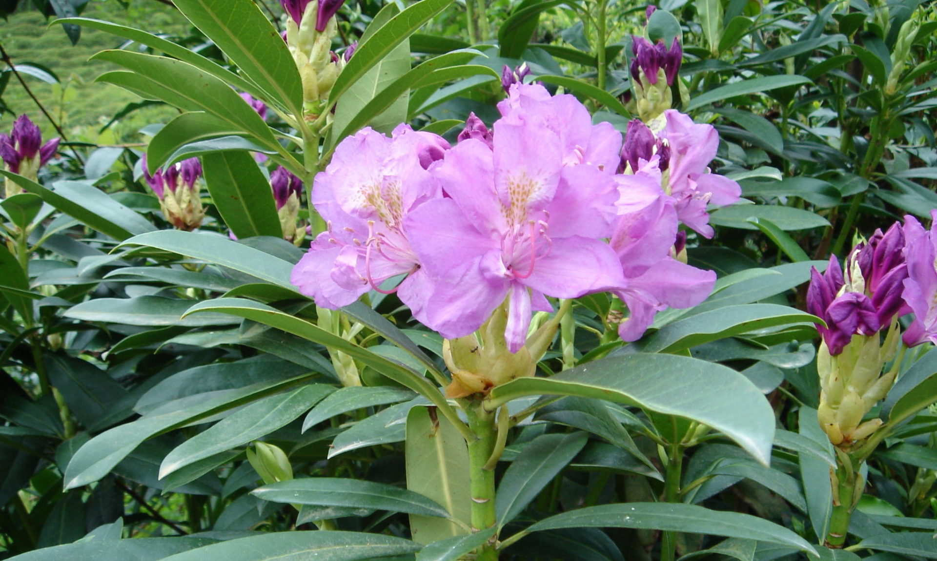 rhododendron_pontica