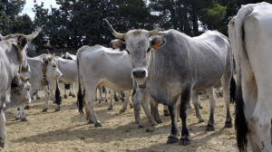 vacche podoliche