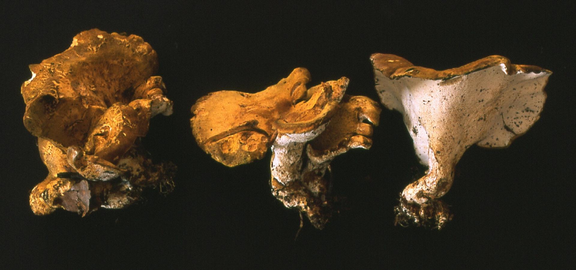 polyporus cristatus