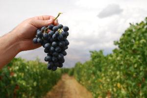 areni grape